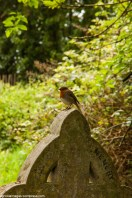 Robin on gravestone in the graveyard of St John sub Castro, Lewes