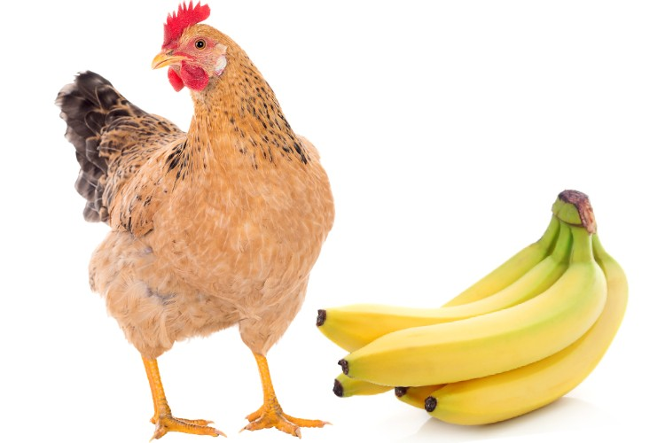Can Chickens Eat Banana? The 5 Amazing Benefits of Bananas for Chickens (Updated 2021)