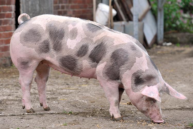 rase de porci - petrain