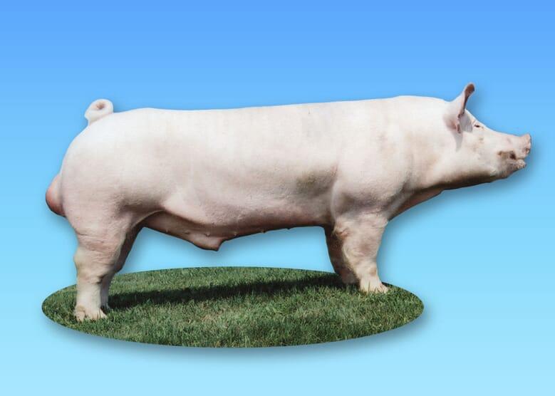 Rase de porci - yorkshire