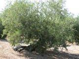 olivo grande