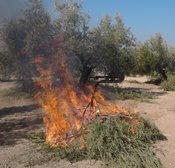 Quema de residuos de la poda del olivar