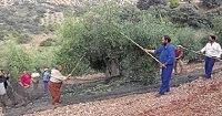 Recolección aceituna en olivar tradicional