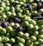 Mayor rendimiento pero menor aforo en el olivar