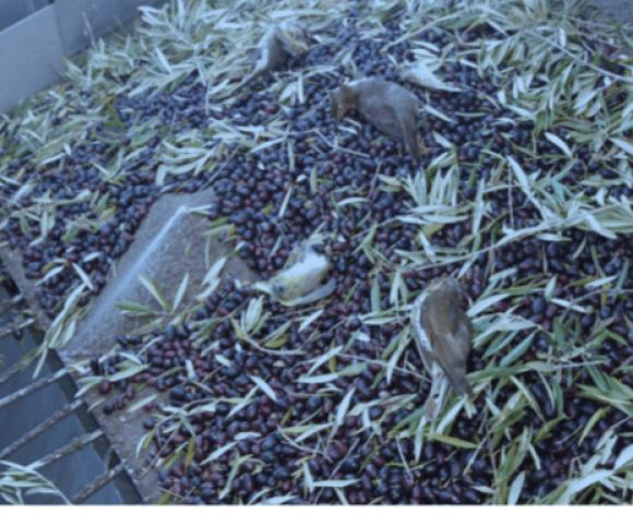 pájaros muertos durante la recolección de la aceituna