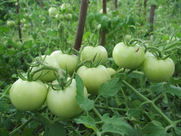 Tomatoes growing at one of NAREI's farms