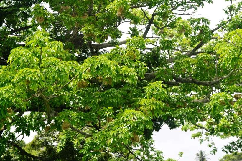 Cotton tree in the NAREI comound