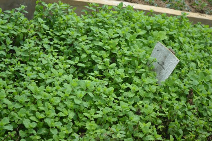 Mint growing at NAREI