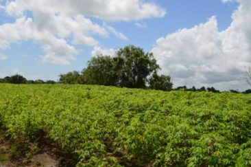 a-cassava-crop-field-at-parika-backdam