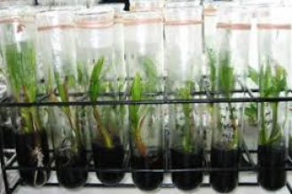 Example of coconut planting materials which underwent the tissue culture laboratory process (source photo).
