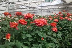 dutchrose cultivation
