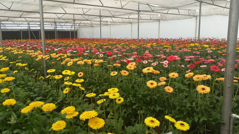 gerbera cultivation economic