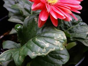 Leaf Miner on gerbera