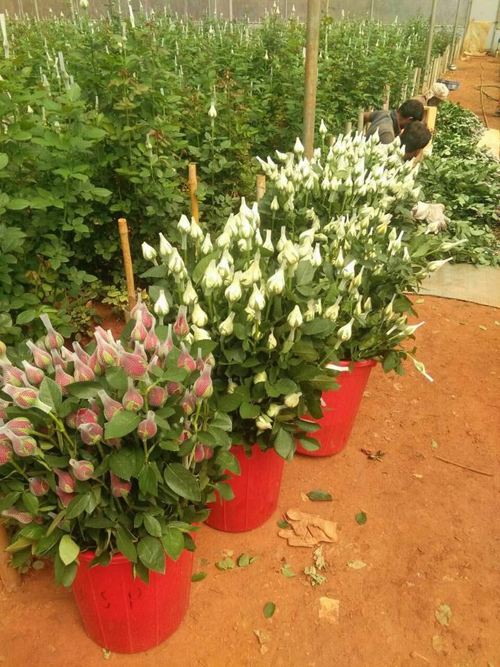 Dutch rose Harvesting