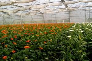 gerbera cultivation