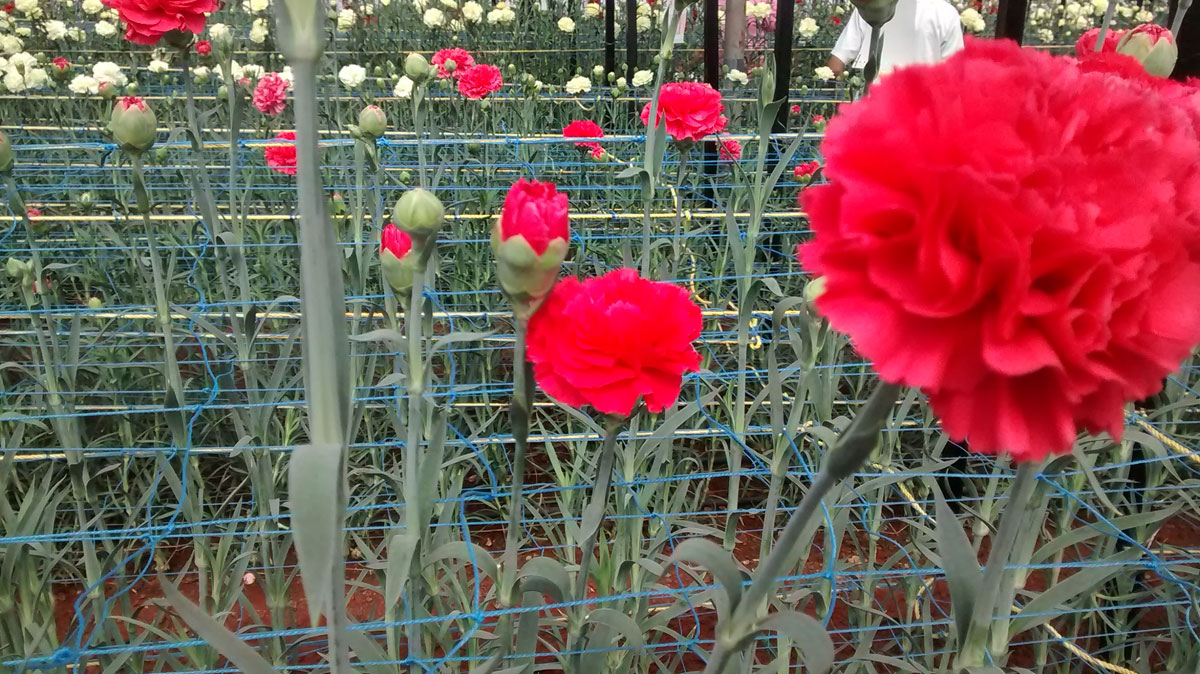 carnation cultivation guide