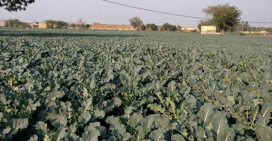Broccoli Farm