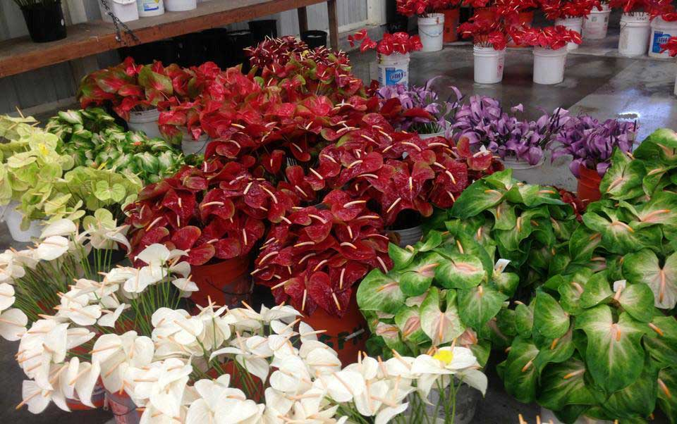 harvesting of anthurium