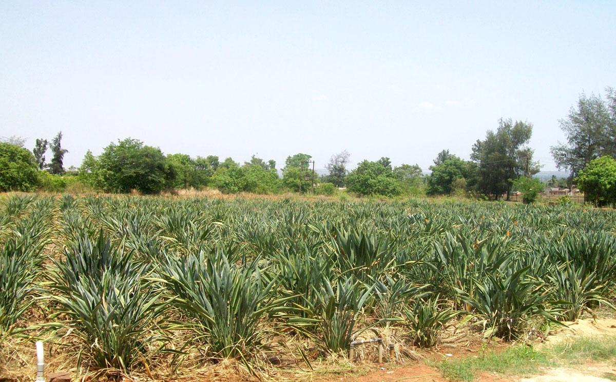 bard-of-paradise crop