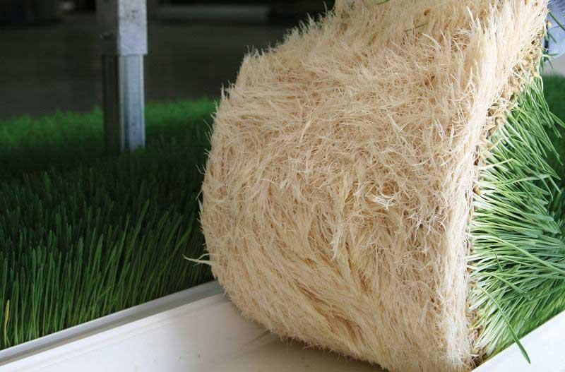 Hydroponic green fodder
