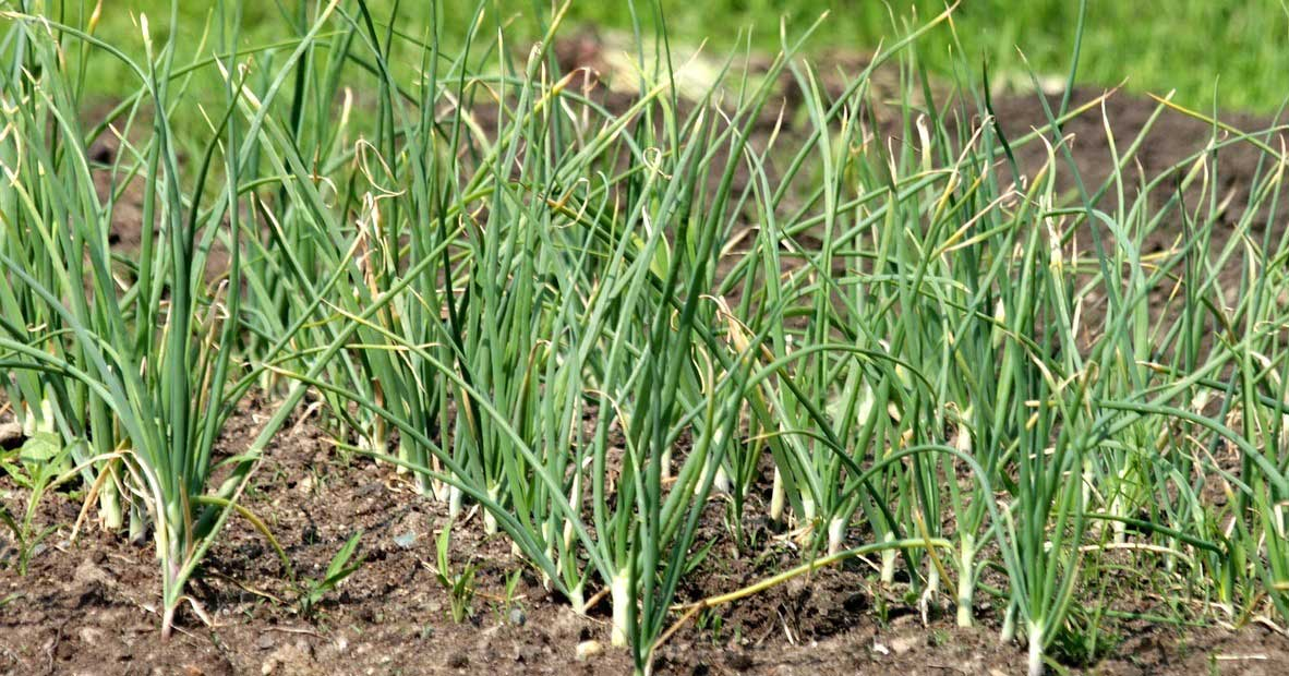 garlic cultivation