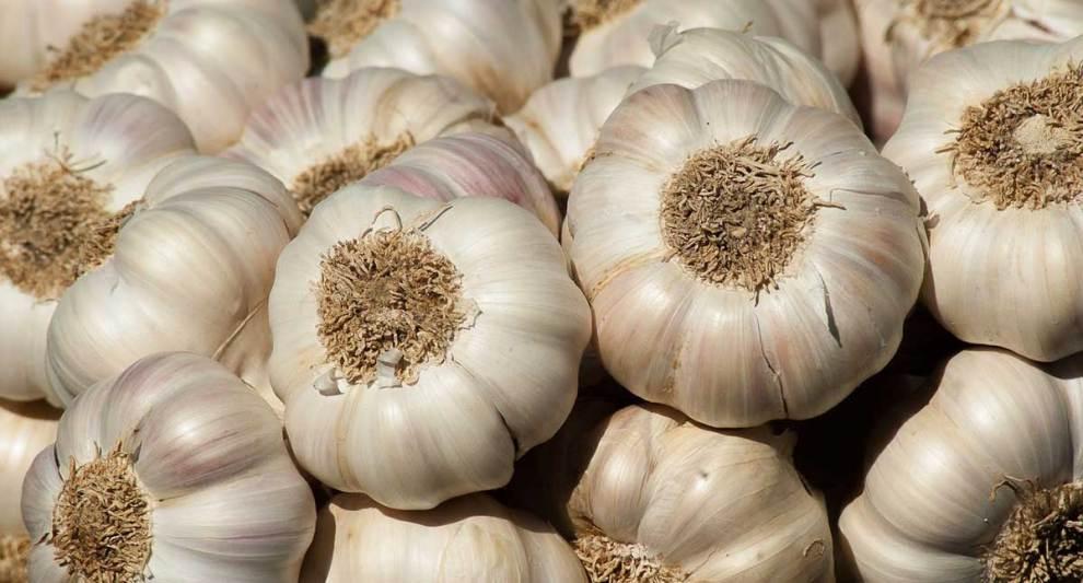 garlic farming