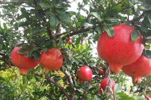 Pomegranate farming
