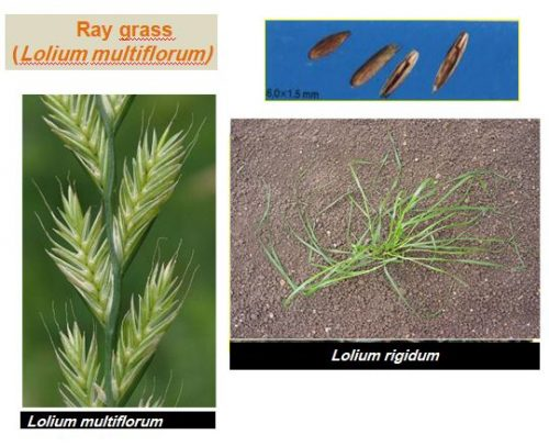 maivaise herbe Ray grass