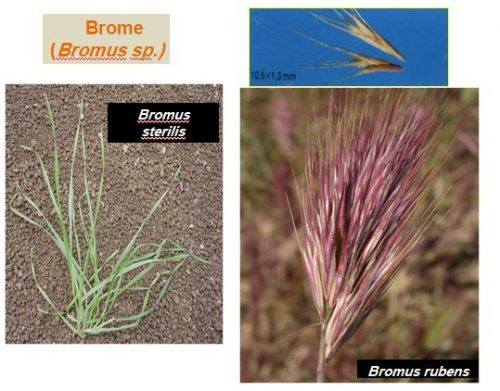 mauvaise herbe brome