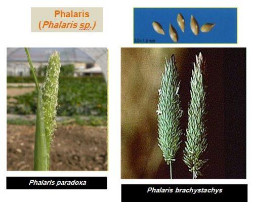 mauvaise herbe Phalaris(Phalaris sp.)