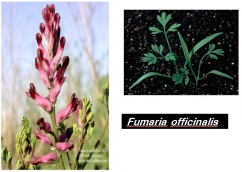 mauvaise herbe fumaria officinalis