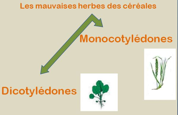 types des Mauvaises Herbe
