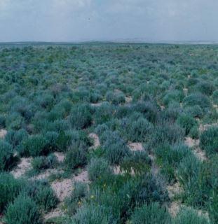 Artemisiaherba albaمجموعة مراعي الشيح