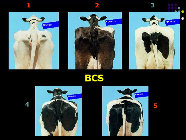Types et position des vaches