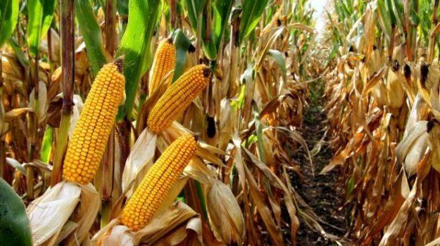 Conduite Mais Grain