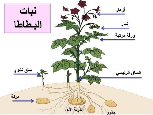 - آفات و أمراض منتوج البطاطا - الامراض الفزيولوجية للبطاطا