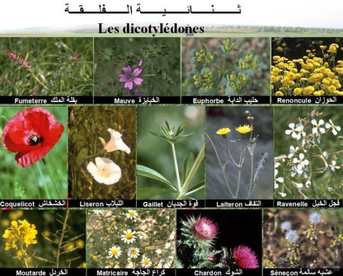 Dicotylédone ( Légumineuses) (الاعشاب الضارة ثنائية الفلقة (أوراق عريضة