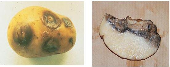 أعراض مرض الساق السوداء و التعفن البكتيري المائي على درنات البطاطا