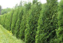 أهمية الأشجار المستعملة كمصدات للرياح لبساتين الفاكهة