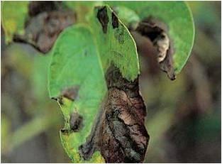 LE FLETRISSEMENT BACTERIEN Pseudomonas solanacearum المسبب المرضي الذبول البكتيري أو العفن البني للبطاطا