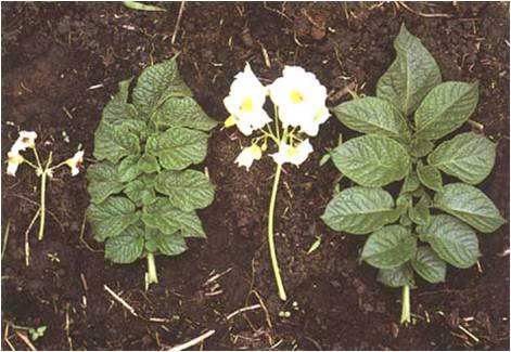 Virus S de la pomme de terre: feuille gaufrée, inflorescence de taille réduite