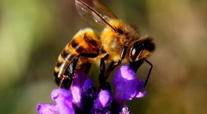 Abeille une insecte Miraculeuse