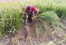 الأعلاف الخضراء و زراعة البونيكام