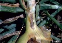 مرض اللطعة الأرجوانية في البصل والثوم Purple Blotch Disease