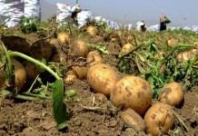 مبيدات الأعشاب نباتات البطاطا