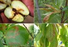 LES PRINCIPALES MALADIES ET RAVAGEURS DES ARBRES FRUITIERS : SYMPTÔMES ET TRAITEMENTS NATURELS