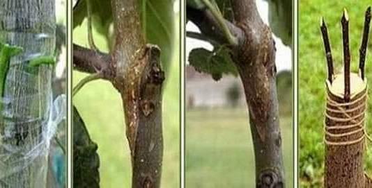 تطعيم الأشجار المثمرة