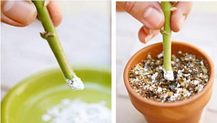 هرمونات التجذير - اكثار النباتات و الاشجار المثمرة