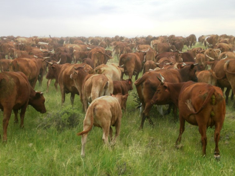 Moving Beefmaster herd to new pasture