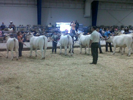 charolais cattle show